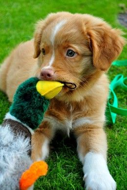 Even Toller puppies like to play with ducks.