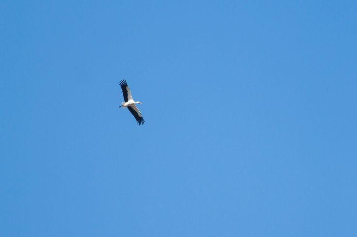 Hvid Stork, Hvilehøj 2017