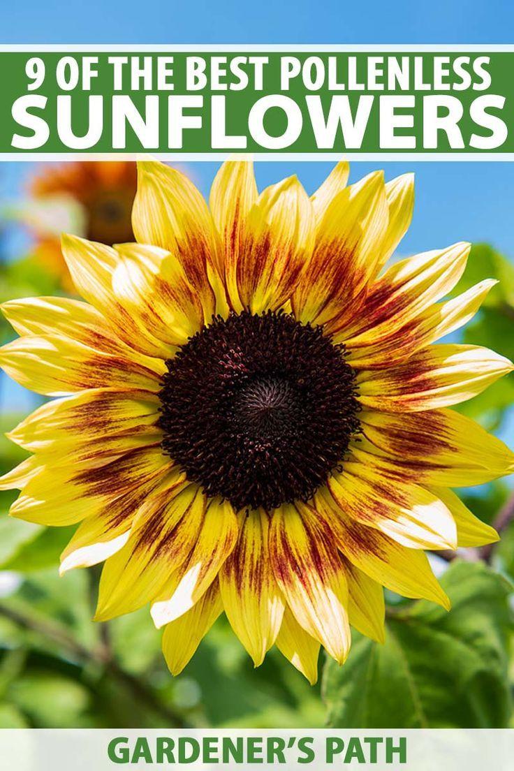 9 Of The Best Pollenless Sunflowers Gardener S Path In 2020 Sunflower Vibrant Flower Garden Planning Layout