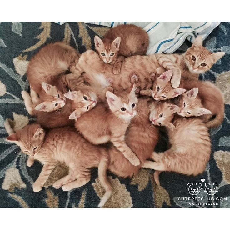 From @momranaway: here is a mom cat I fostered w/ her 8 ginger babies. #cutepetclub [source: http://ift.tt/2hY0Tb0 ]