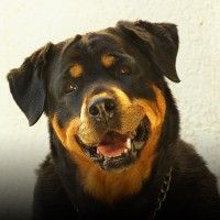 #dogalize Dog Breeds: Rottweiler temperament and personality #dogs #cats #pets