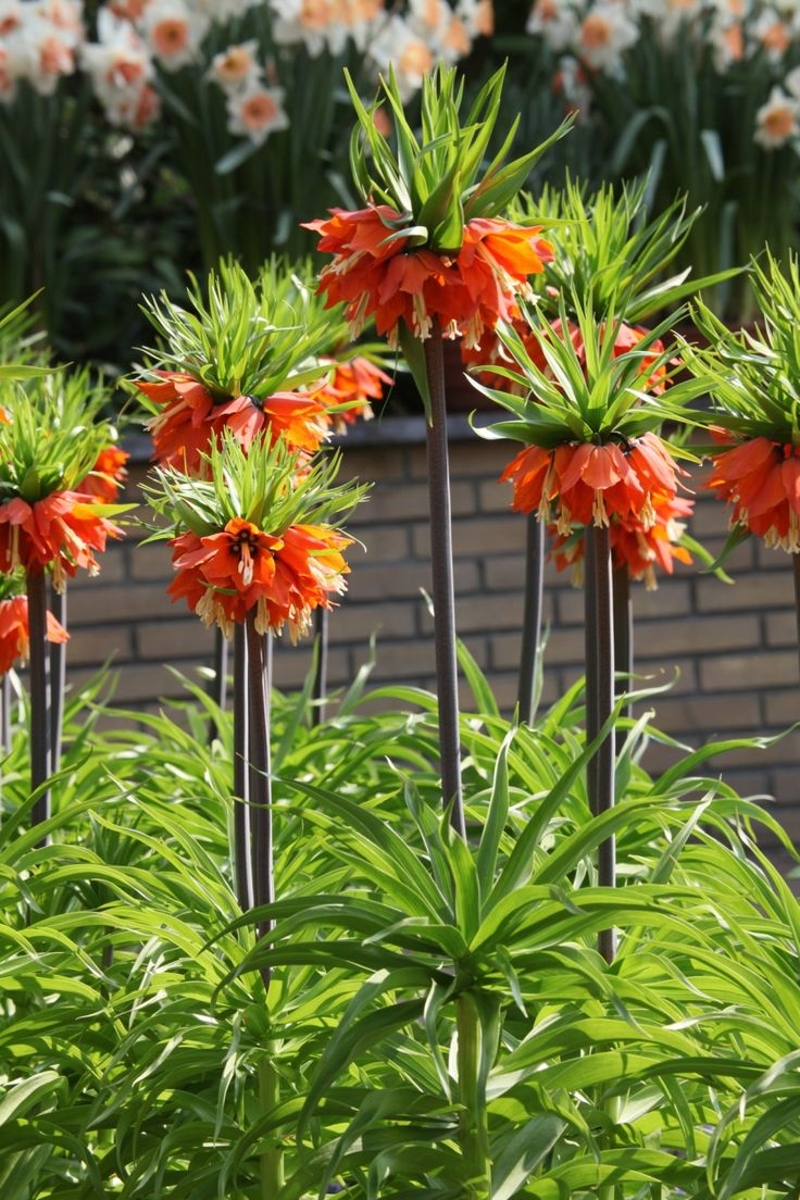 "Fritillaria Imperialis ""Rubra Maxima"". Carolyn Roehm."