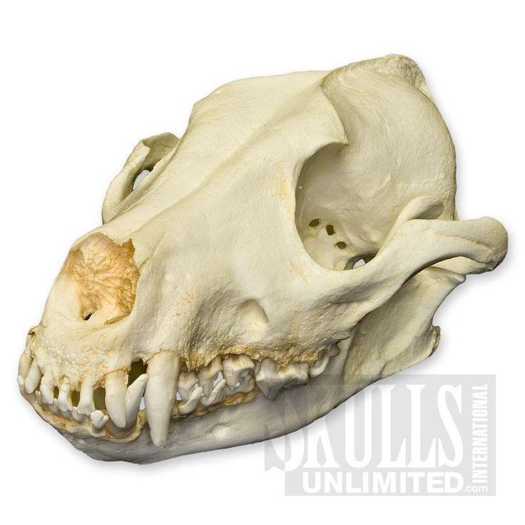 WTQ-152: African Hunting Dog Skull ( Replica)