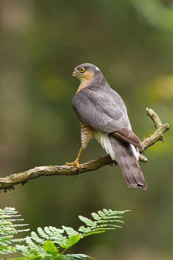 Little hawk Sparrow hawk male
