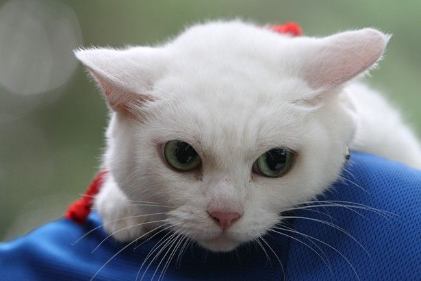 """""""猫のプロ""""があまりの可愛さに嫉妬!?話題の白猫が見せる甘え顔を一挙公開!                              …"""