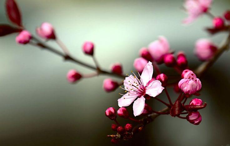 Gambar Bunga Sakura Sedang Mekar Bunga Sakura Yang Cantik Pinterest