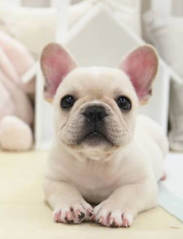 French Bulldog Puppy For Sale In San Jose Ca Adn 54651 On