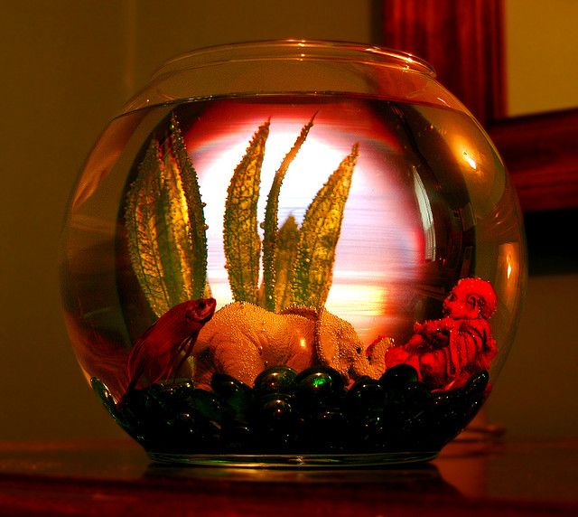 Betta fish bowl fish tanks pinterest betta betta for Betta fish bowl ideas
