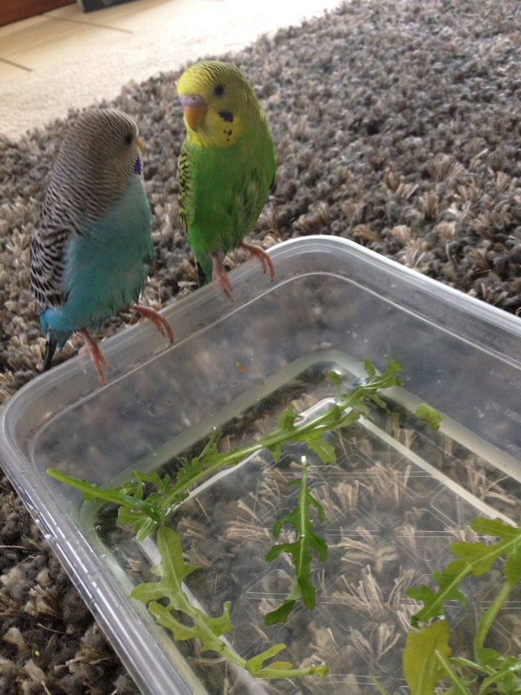 Budgies need bath every week. Fill a container with enough water to cover their feet.