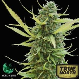 Colombian Gold Feminized Seeds (World of Seeds)