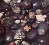 Among the many interesting objects left stranded on the sand on Texas beaches are tropical seeds and fruits, called sea beans, that drift here from such exotic places as the west coast of Africa, the Amazon Basin, South America, Central America, and the islands of the Caribbean and the Gulf of Mexico.