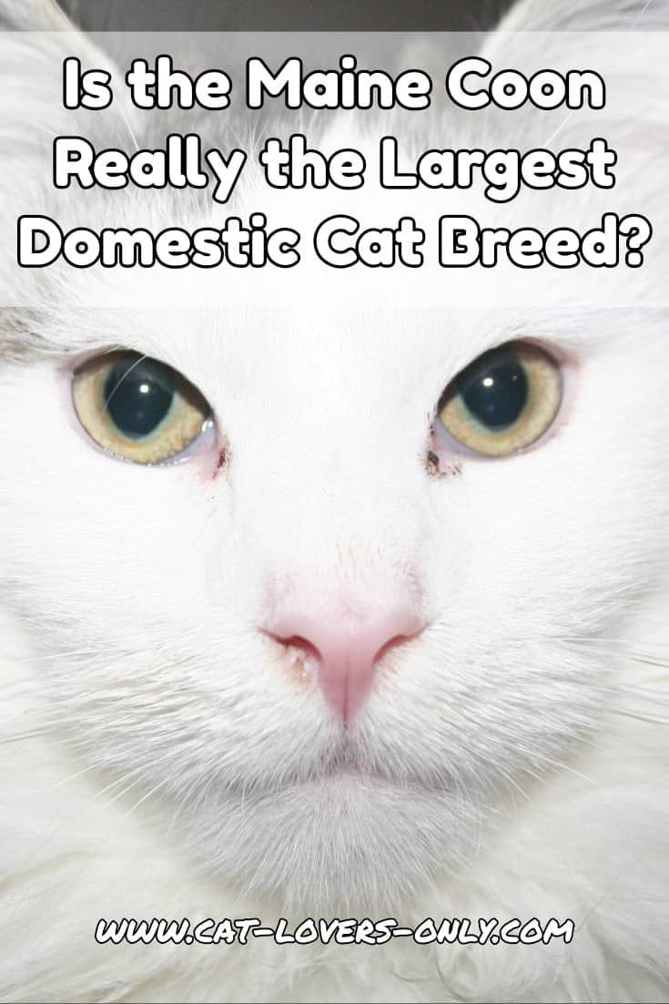 What is the Largest Domestic Cat Breed? #cats #catlovers #catloversonly #mainecoon