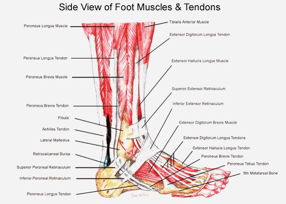 Muscle Anatomy, Side View Of Foot Muscles And Tendons Anatomy Of The Foot Foot And Ankle Anatomy Images And Diagrams ~ Anatomy of The Foot and Ankle Ligaments