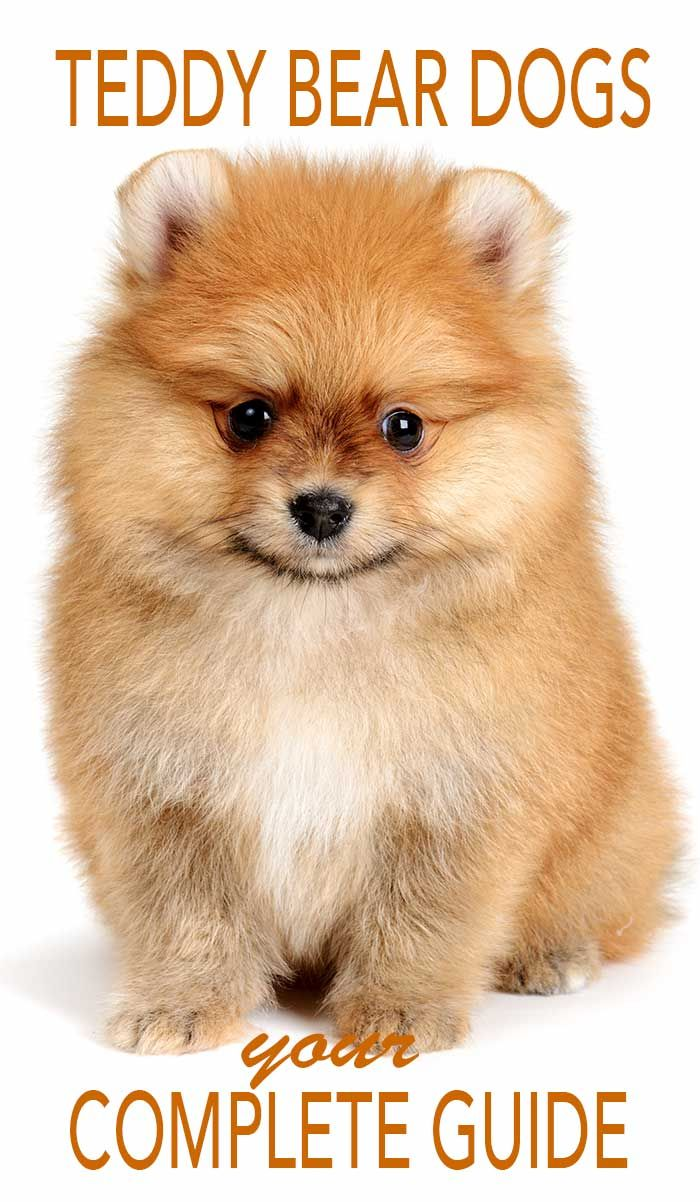 Everything You Ever Wanted To Know About Teddy Bear Dogs Teddy Bear Dog Bear Dog Teddy Bear Puppies