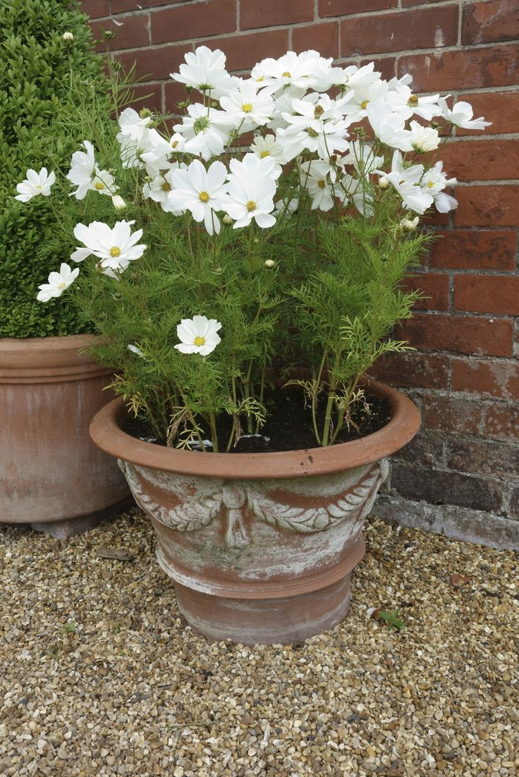 Growing cosmos in pots is easy, and you'll be rewarded with plenty of flowers for cut or dried arrangements, or you can simply enjoy them in their pot. Read here to learn more about container grown cosmos.