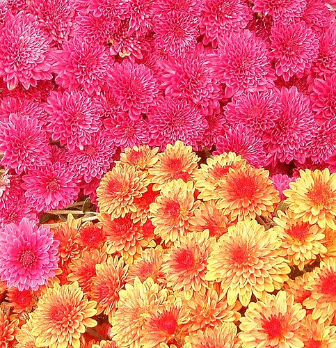 How to Care for Hardy Mum Flowers   Garden Guides