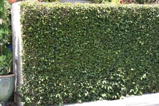 Ficus pumila - Creeping Fig - grow on a wall in a narrow area to give the effect of a hedge with out the width. Shall cover a wall in 2 or 3 years as is a vigorous climber.