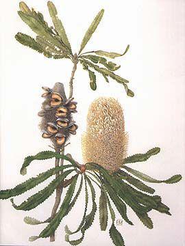 Banksia serrata, Celia Rosser