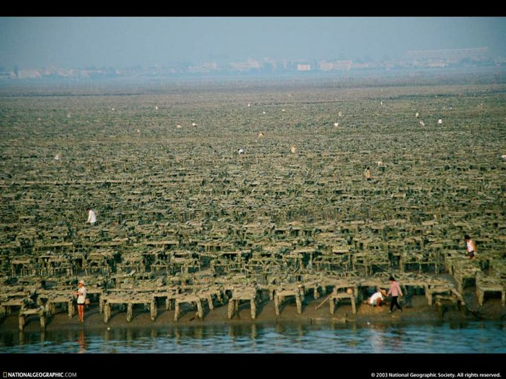 Xiamen, China - one of Sarasota's eight sister cities - is into aquaculture in a big way.  This is a photo of an oyster farm in Xiamen. China Aquaculture was one 21 presentations made at the Sarasota Sister Cities Sustainability & Aquaculture conference at the University of South Florida Sarasota Manatee in November 2013.  Dr. Qjuin Ma's presentation at the conference can be viewed on the Sarasota Sister City conference web site: http://sustainablesarasota.us