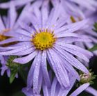 (P32)  Aster × frikartii 'Mönch' michalmas daisy Position: full sun Soil: well-drained, moderately fertile soil Rate of growth: average Flowering period: August to September Hardiness: fully hardy H: 90cm S: 40cm  Masses of long lasting, lavender-blue, daisy-like flowers with orange centres from August to September and dark green leaves.