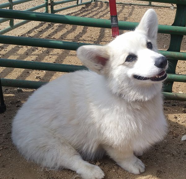 I saw a white Corgi at a Corgi meetup. He's not mixed. He's AKC registered and both his parents are conformation champions. They said that two puppies in the litter came out this way.