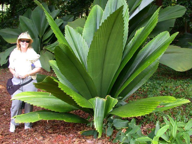 Joey Palm - Johannesteijsmannia Altifrons, 10-20'H, 1-5'W