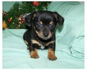 Chiweenie Puppies Alberta Cute Baby Animals Pinterest