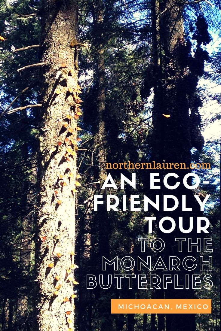 An eco-friendly tour to the Santuario Sierra Chincua in Michoacán, México to see the mariposas monarcas, otherwise known as Monarch butterflies. Eco-friendly travel in Mexico can be done, so you can and should visit Mexico and visit Michoacán!