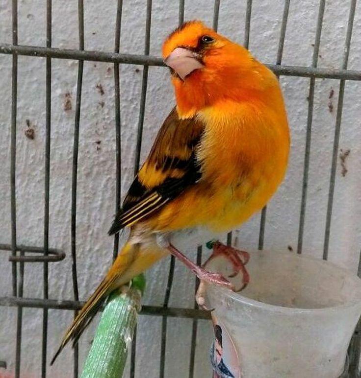 La passion d'élevage des oiseaux confort psychologue tout d'abord Le très très beau Mulet Bronze wooow   هواية تربية الطيور راحة نفسية قبل كل شيء البندق البرنزي الرائغ https://www.youtube.com/+bilelseg https://www.facebook.com/ChardonneretBilelKios/ https://www.instagram.com/bilelkios/ #الحسون #المقنين #القرديل #Chardonnerert #Canari #Mulet #MuletOiseau #Oiseau #Birds #Animaux #Goldfinch #Jilguero #Cardellino #καρδερίνα #Sakakuşu #Chien #Chat #Pigeon #Cheval #Science #Reptile #Poisson #Pla