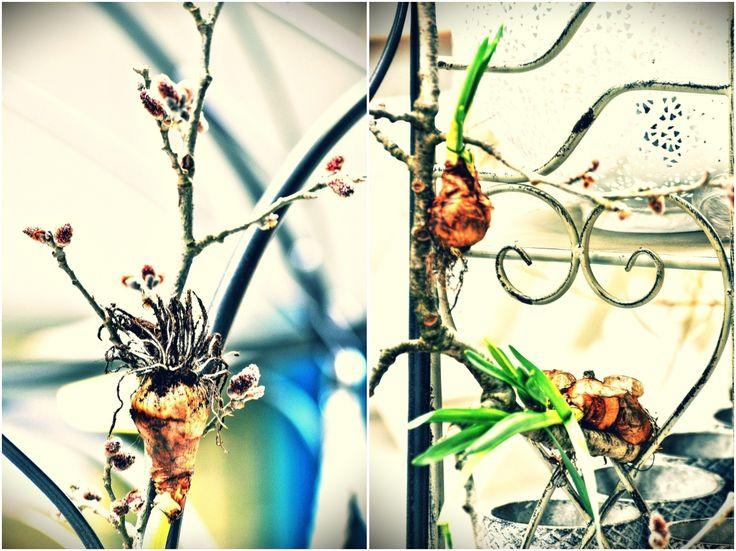 I takto naaranžované cibuloviny Vám pokvetou, pokud budete kořeny řádně rosit.