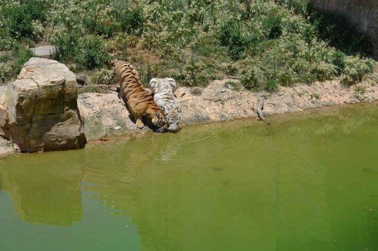 Benidorm - terra Natura tigers