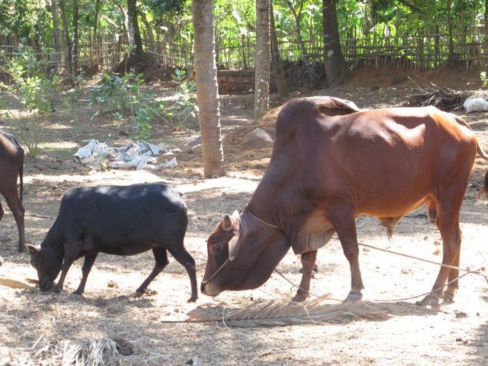 https://worldcowgirl.wordpress.com/2011/02/19/in-perla-india-at-the-kasargod-dwarf-cow-festival/