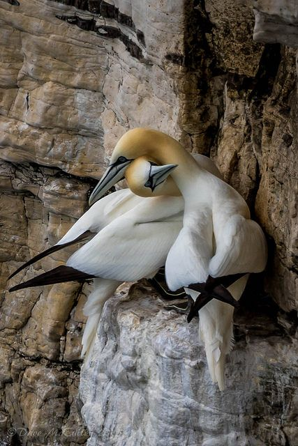 theperfectworldwelcome:  phototoartguy:  Gannet Pair. by dave.mcculley on Flickr.    Beautiful !!! \O/