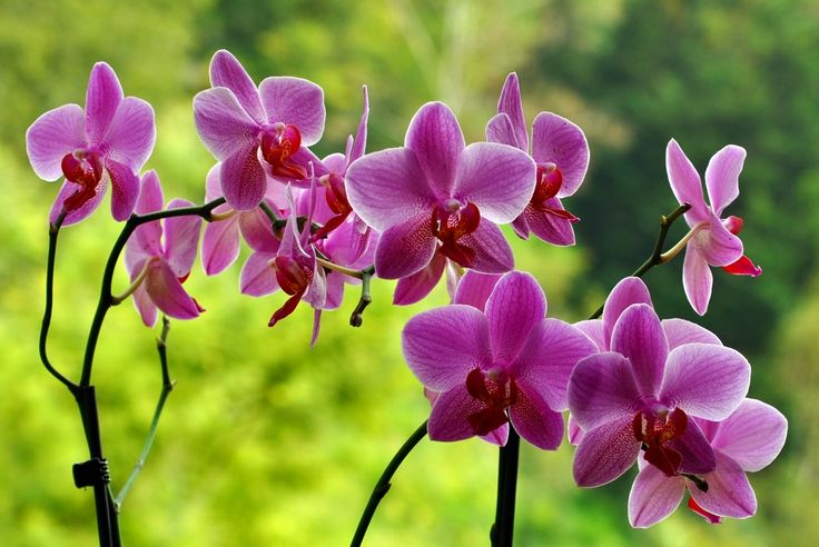 Σαγηνευτικη,εξωτικη,σπανια ομορφια..αυτο το πανεμορφο λουλουδι,στη φυση αναπτυσσεται ως επιφυτο,ζει δηλαδη πανω σε αλλα φυτα χωρις ομως να τους προξενει καποιο προβλημα..Ιδιαιτερα αγαπητη για τα πα...