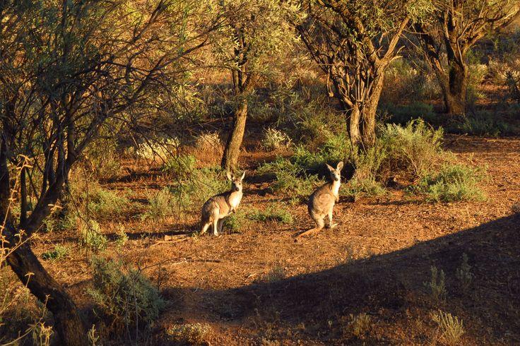Kangaroos at Brachina George