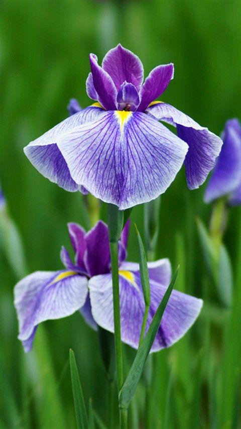 Purple Iris!