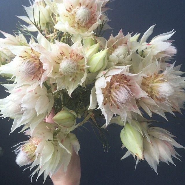 Blushing bride protea. @isibealstudio on Instagram.
