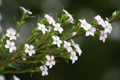. El Jardin de Margarita .: Plantas valientes que florecen en pleno invierno. Coleonema