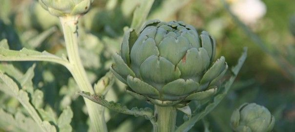 Globe artichokes, beautiful and delicious.