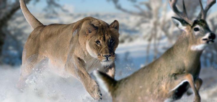 American Lion by philip72 on DeviantArt