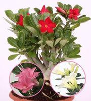Aavikkoruusu-lajitelma (1+1+1) 3 kpl