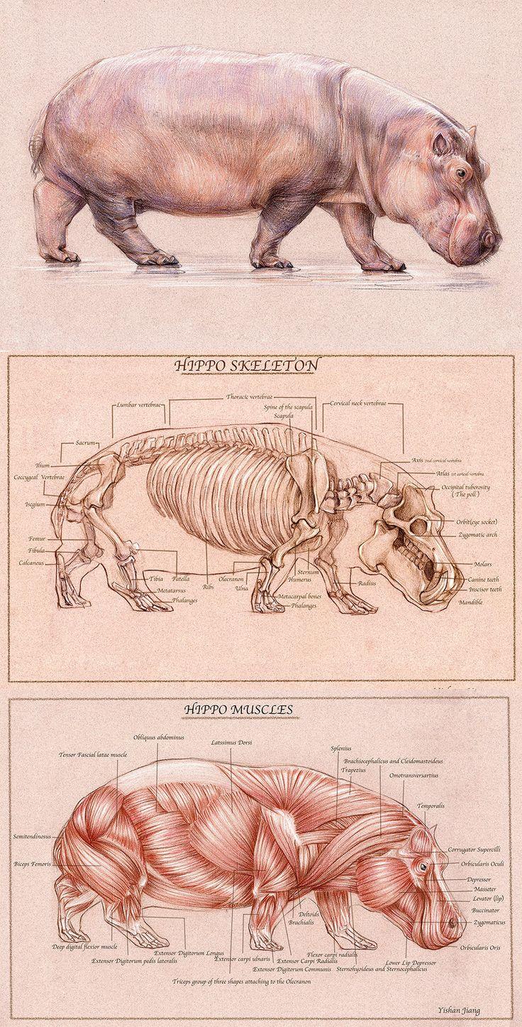 hippo drawing by YishanJiang.deviantart.com on @deviantART
