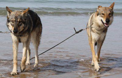le chien loup tchecoslovaque