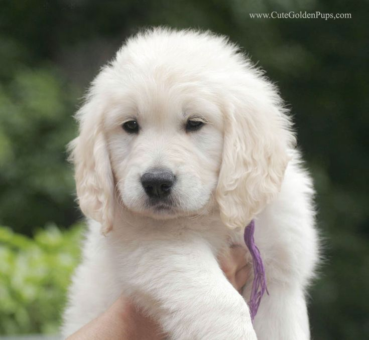 Beautiful English Cream Golden
