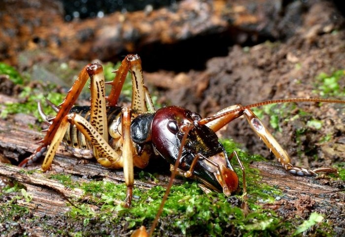 not everything in NZ is pretty... but it's all unique! // this is a male weta, a native insect of NZ // there are about 70 types of weta, mostly they eat other bugs and leaves. they can bite, but they're not poisonous, and they can't fly // the 'giant weta' can be up to 8 inches long! // Weta Workshop is named after the NZ weta