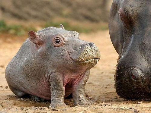 今日はカバの意外な習性と海外で話題の可愛いカバの赤ちゃんを色々ご紹介します♡                                                                                                                                                                                 もっと見る