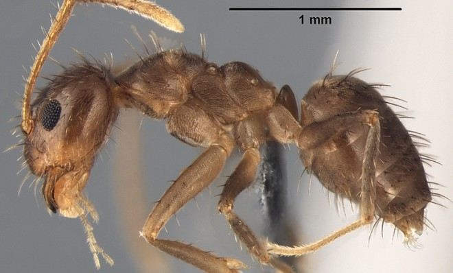 Crazy Ants Invade the Southeastern US