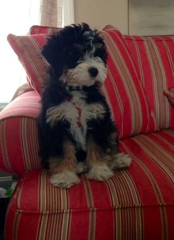"""Hunter"" Tri-Colored Aussiedoodle - Cute!"