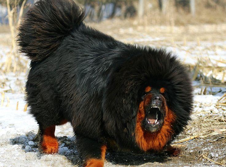 Tibetan mastiffs | size image tibetan mastiff click for full size image tibetan mastiff ...