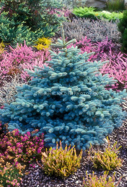 Dwarf Colorado blue spruce Picea pungens Globosa with heaths and heathers in garden in spring